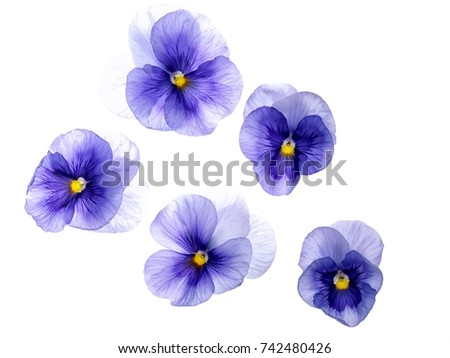 Photographed close-up of 5 Viola flowers on white background. Different shades of purple/violet with yellow heart. Backlit, very delicate, almost translucent.