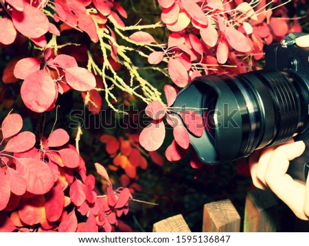 Photographer hold camera close to red autumnal leaves to take impressive seasonal photos. Modern camera with big lens  takes photo of amazing autumn foliage