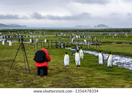 Photographer in red coat with black backpack and tripod kneeling and taking pictures of King penguins on Salisbury Plain, South Georgia