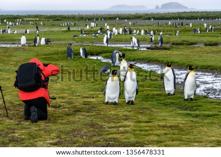 Photographer in red coat with black backpack kneeling and taking pictures of King penguins on Salisbury Plain, South Georgia