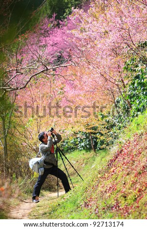 photographer taking photo under pink Sakura blossom trees. - stock photo