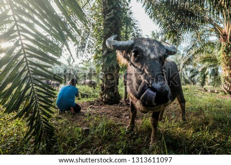 Photographer taking picture a group of buffalo in oil palm plantation.