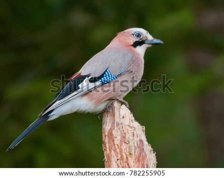 photographing songbirds in winter near feeders - Eurasian jay #782255905