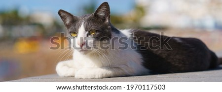 Photography of a cute spotted cat of Gran Canaria island. Cat basking on the sun at the street.  The cat neatly folded its front paws under itself. Animlas' theme. Stock foto ©
