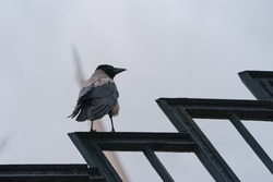 Photography of a raven on a rainy day. A crow sits on a metal fence. Animals theme.