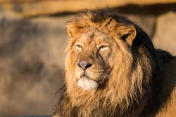 Photography of African Lion King. Relaxing portrait.