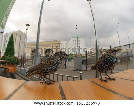 Photography of couple of hungry starling begging a food on the table in street cafe in autumn day. Theme of birdwatching, wildlife and beauty of nature. Fish-eye lens / technique.
