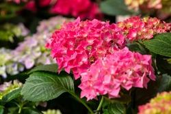 photography of flowers Hydrangea garden in a greenhouse