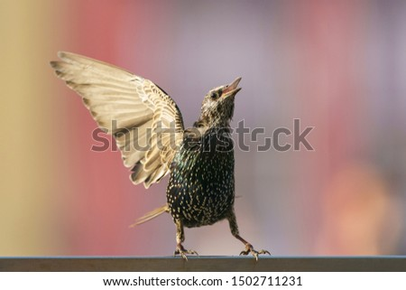 Photography of starling standing on the fence, flapping its wing and singing song in summer day. Theme of birdwatching and beauty of nature.