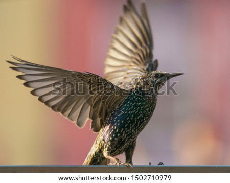Photography of taking off  starling in summer day. Theme of birdwatching and beauty of nature.