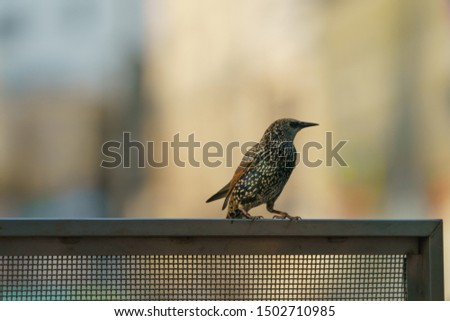 Photography of the starling perched on the metal fence in summer day. Theme of birdwatching and beauty of nature.