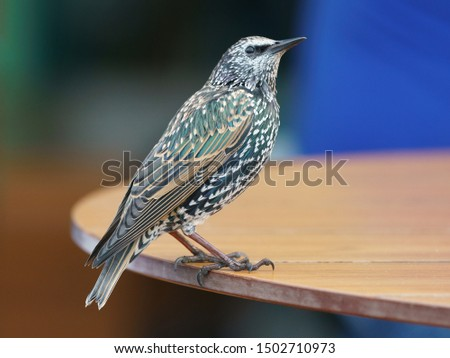 Photography of the starling standing on the table in summer day. Theme of birdwatching and beauty of nature.