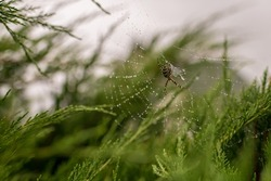 Photography to theme big tabby spider on dew web, close up on leaf background. Photo consisting of natural old spider on structured dew web. Beautiful dark spider on dew web hunts flies for nice food.