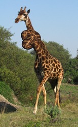 Photomanipulation of the neck of a reticulated giraffe grazing along a grassy field