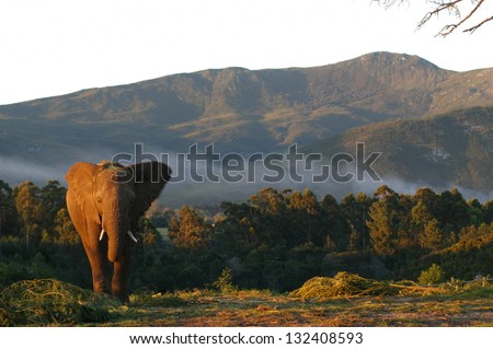 Photos of Africa, African Elephants