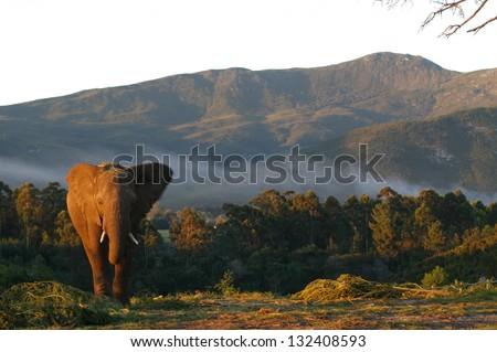 Photos of Africa, African Elephants