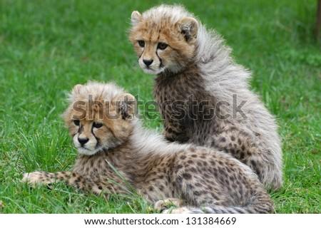 Photo of Photos of Africa, Cheetah cubs