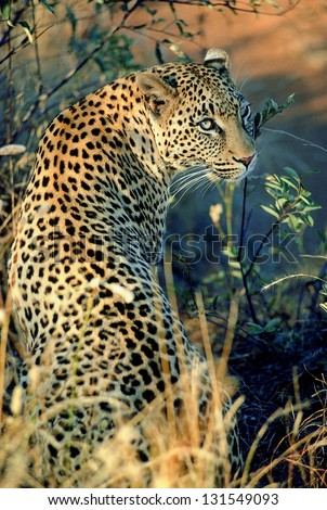 Photos of Africa, Leopard from the back