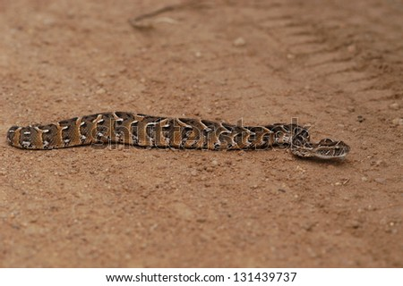 Photos of Africa, Snake Puff adder on ground