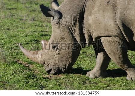 Photo of Photos of Africa,White Rhino
