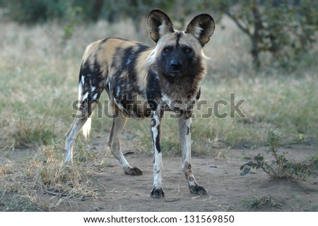 Photos of Africa, Wild dog standing