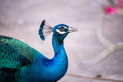 Photos of beautiful peacocks in Thailand