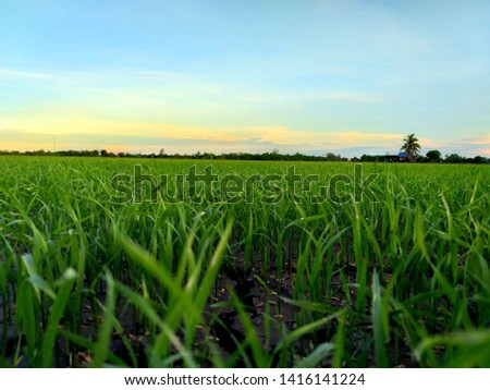 Photos of rice plants in the fields that gradually grow, waiting for the day that farmers come to harvest.