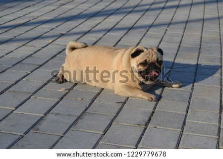 photos of the Pug