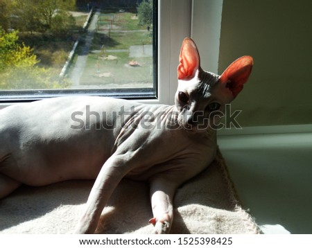 Photos of the Sphinx cat on the windowsill.