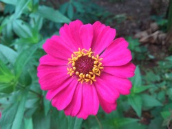 photos of very beautiful pink flowers in the morning.