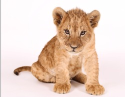 Photoshoot of a little lion. Lion cub. Beautiful funny lion.