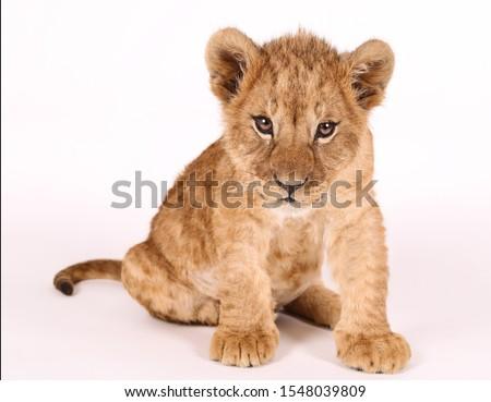 Photoshoot of a little lion. Lion cub. Beautiful funny lion. Stock photo ©
