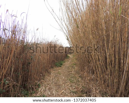 Phragmites Australis, typical plant of swamps and lakes.