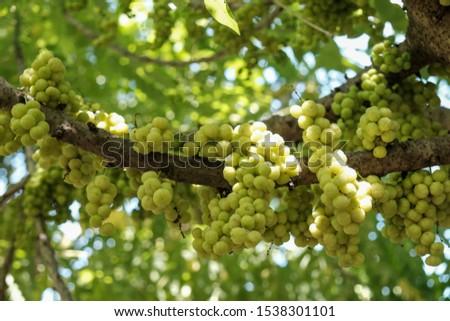 Phyllanthus acidus, Star gooseberry, yellow fruit  Fresh and sour taste