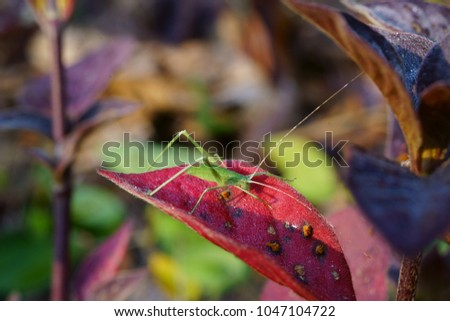 Phyllium bioculatum.Leaves like leaves with leaves and leaves. Like insects eat The grasshopper's mustache will be a yarn. This type of mustache will look long ... #1047104722