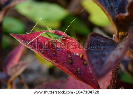 Phyllium bioculatum.Leaves like leaves with leaves and leaves. Like insects eat The grasshopper's mustache will be a yarn. This type of mustache will look long ... #1047104728