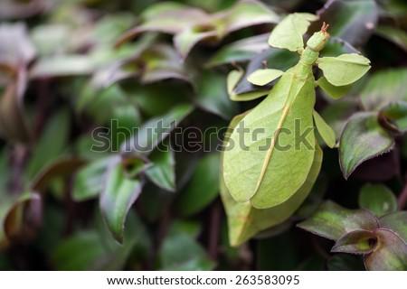 Phyllium giganteum, leaf insect #263583095
