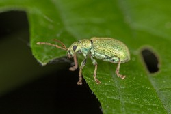 Phyllobius argentatus is a species of short-nosed weevil commonly known as the silver-green leaf weevil.