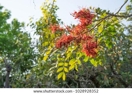 Phyllocarpus septentrionalis J.D.Sm Monkey Flower Tree General Medium to medium sized trees 10-20 m tall. Shrub size 6-8 m, deciduous shrubs and shrubs. The bark is gray brown. #1028928352