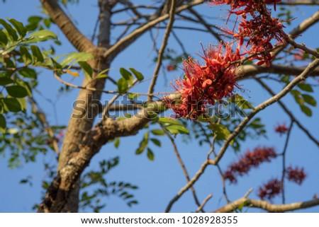 Phyllocarpus septentrionalis J.D.Sm Monkey Flower Tree General Medium to medium sized trees 10-20 m tall. Shrub size 6-8 m, deciduous shrubs and shrubs. The bark is gray brown. #1028928355