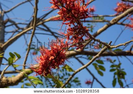 Phyllocarpus septentrionalis J.D.Sm Monkey Flower Tree General Medium to medium sized trees 10-20 m tall. Shrub size 6-8 m, deciduous shrubs and shrubs. The bark is gray brown. #1028928358