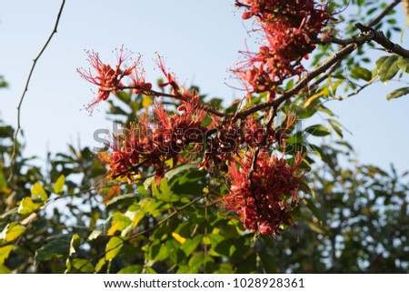 Phyllocarpus septentrionalis J.D.Sm Monkey Flower Tree General Medium to medium sized trees 10-20 m tall. Shrub size 6-8 m, deciduous shrubs and shrubs. The bark is gray brown. #1028928361
