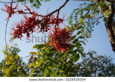 Phyllocarpus septentrionalis J.D.Sm Monkey Flower Tree General Medium to medium sized trees 10-20 m tall. Shrub size 6-8 m, deciduous shrubs and shrubs. The bark is gray brown. #1028928364