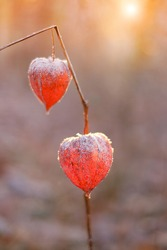 physalis peruviana.Physalis in hoarfrost in a sunny autumn garden. Freezing weather. Cape Gooseberry. Orange Chinese lantern in hoarfrost.