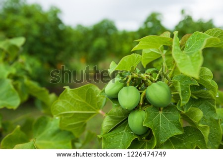 Physic nut, Purging nut or Barbadose nut (Jatropha curcas L.) agriculture farming, fruitage in the trees. Vegetable oil refining, vegetable oil fuel. Biofuel. Close. Shallow dept of field.