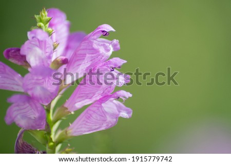 Physostegia virginiana, Obedient Plant with small pink flowers and buds and green leaves, macro of Amazing Dainty or False Dragonhead, selective focus, natural background Stockfoto ©
