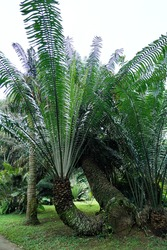 Phytelephas is a genus containing six known species of dioecious palms (family Arecaceae), occurring from southern Panama along the Andes to Ecuador, Bolivia, Colombia, northwestern Brazil, and Peru.
