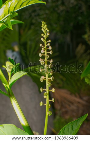 """Phytolacca americana, also known as American pokeweed, poke sallet, dragonberries flower stalk bloom spike before flowers or berries - Inspiration for song """"poke salad Annie """" Stock photo ©"""