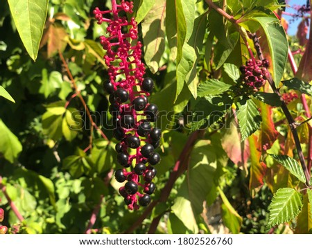 Phytolacca americana, also known as American pokeweed, pokeweed, poke sallet, dragonberries a herbal plant and source of food for birds Stock photo ©