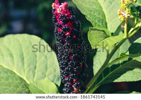 Phytolacca americana, also known as American pokeweed, pokeweed, poke sallet, dragonberries is a poisonous, herbaceous perennial plant in the pokeweed family Phytolaccaceae Stock photo ©